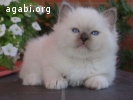 Gattini Sacro di Birmania