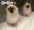 strepitosi cuccioli birmani